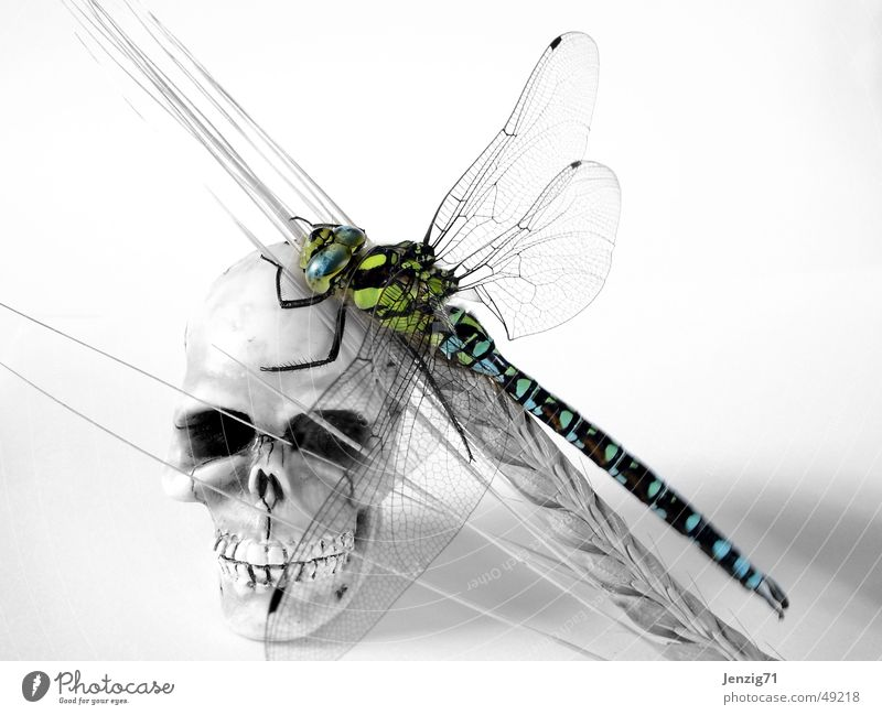 Life and death. Dragonfly Ear of corn Insect Southern hawker Paddle Death's head Grain