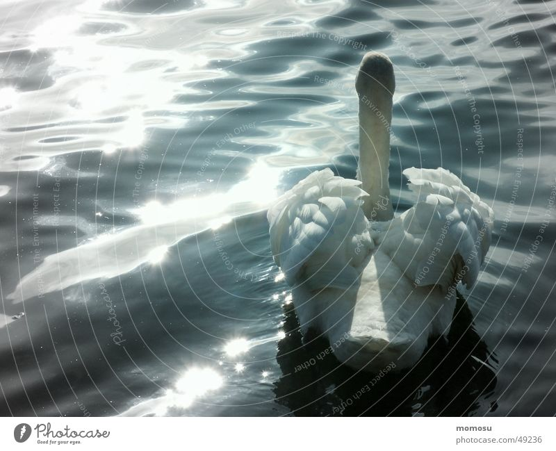 Swan Lake? Light Waves waters Sun Water Feather swimming Float in the water Swimming & Bathing