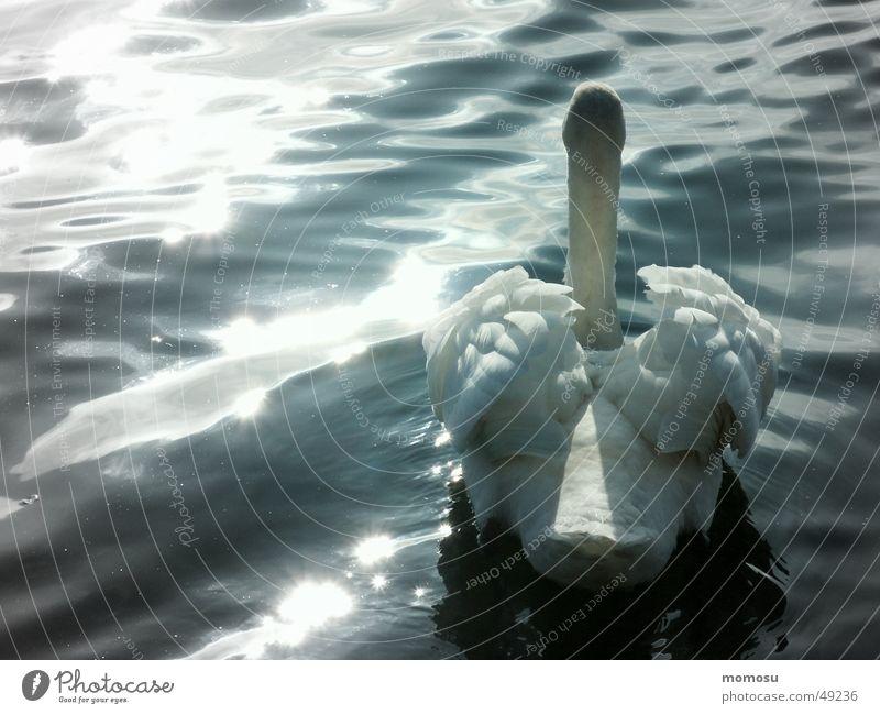 Water Sun Lake Waves Feather Swan