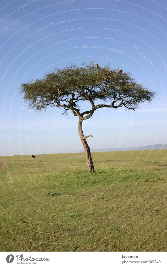 Africa Bambata Kenya Tree Steppe Animal Desert