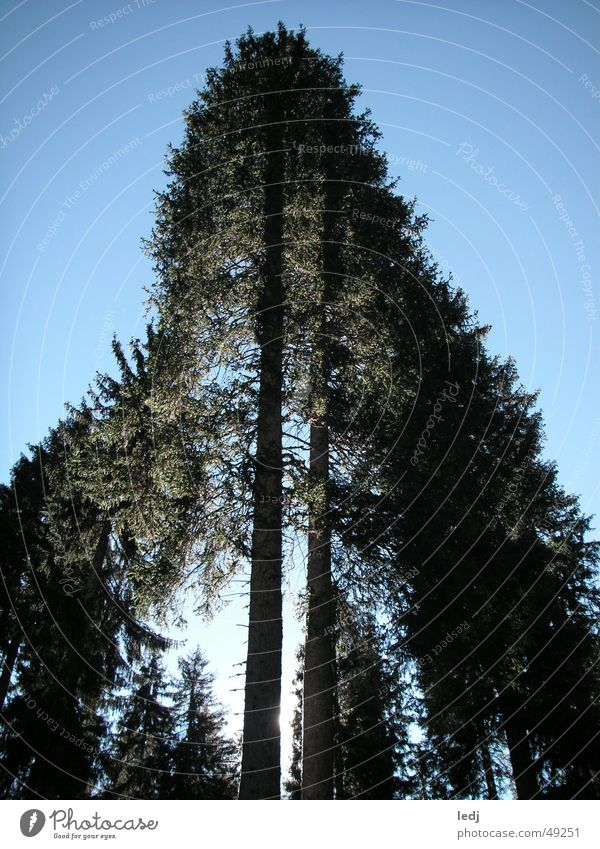 Up high! Tree Green Forest Fir tree Force Go up Sunbeam Black Light blue Heavenly Sky Blue Tall Shadow Beautiful weather
