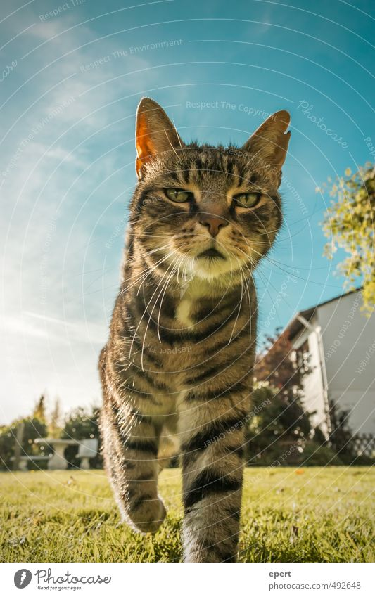 Cat Sky Animal Meadow Movement Funny Going Pet Pride Resolve Swagger
