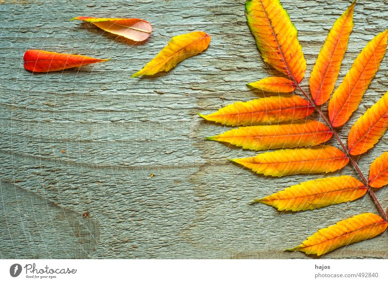 leaves fall Beautiful Decoration Environment Nature Plant Autumn Leaf Wood Glittering Bright Dry Yellow Red board Ash-tree To fall Colour Background picture