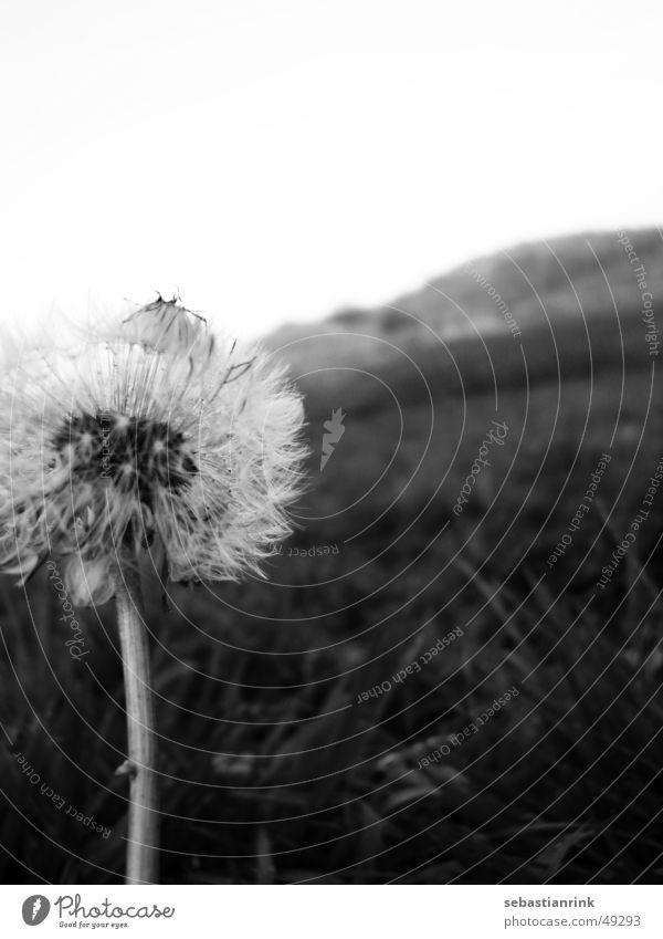 White Flower Black Cold Meadow Gray Stalk Dandelion November