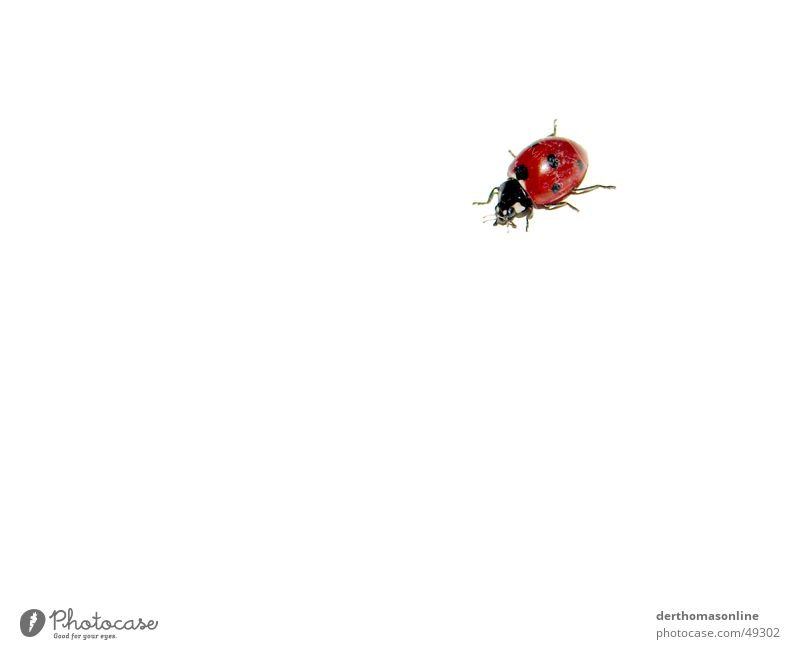 Little Beast Ladybird Red Black Spotted Insect Background picture White Flat Beautiful Sweet Isolated Image Bow Simple Simplistic Small Summer Jump Beetle
