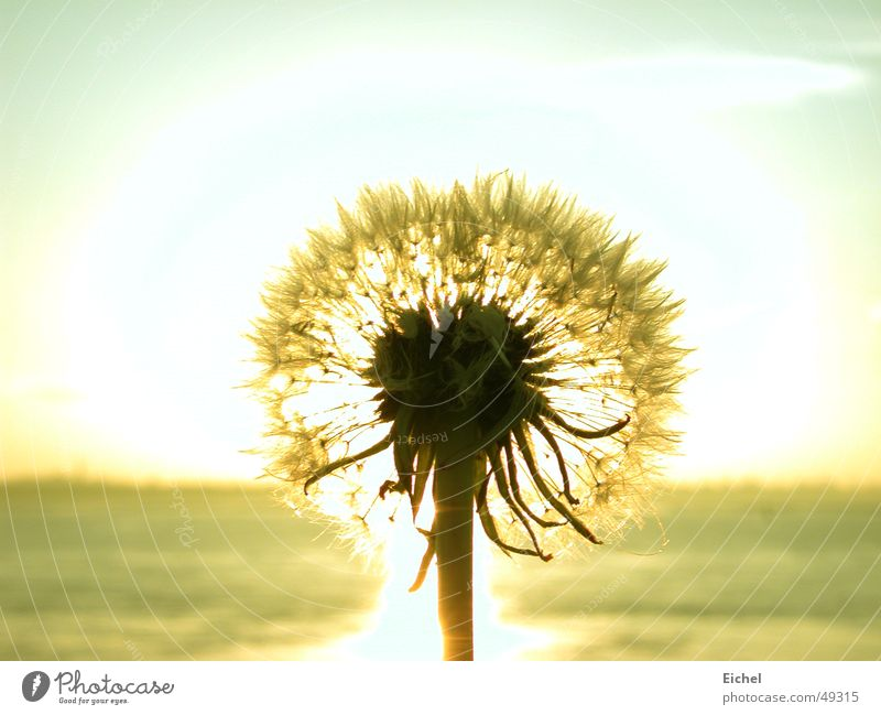 Sky Ocean Flower Far-off places Autumn Horizon Dandelion Seed