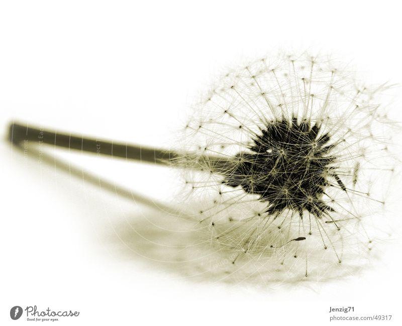 Traps. Flower Dandelion Autumn Feeble To fall