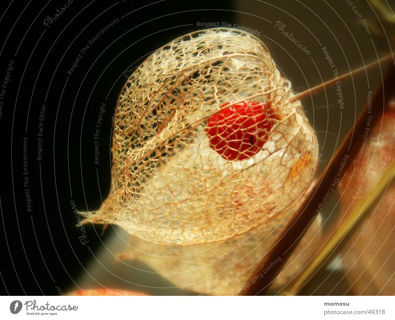 when the inside becomes visible Chinese lantern flower Autumn Grating Seed plant detail