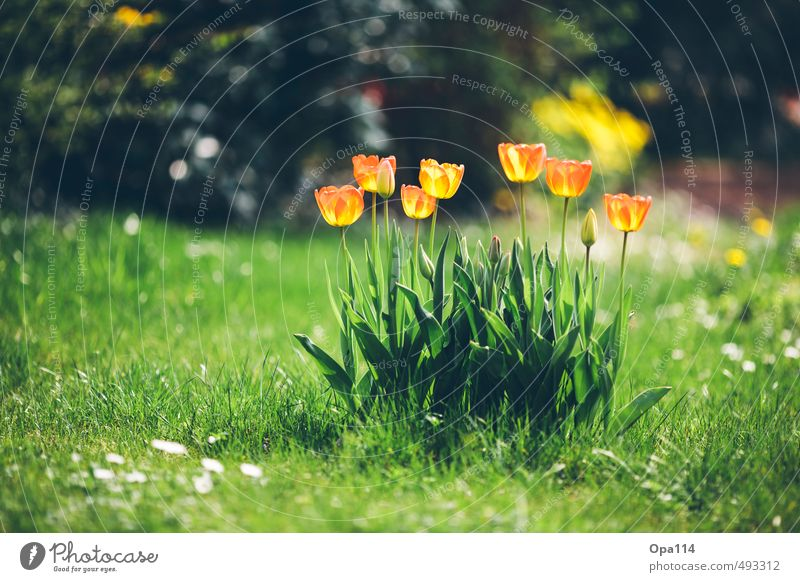 tulips Environment Nature Plant Animal Summer Beautiful weather Blossom Foliage plant Garden Meadow Blossoming Fragrance Green Orange Red Relaxation