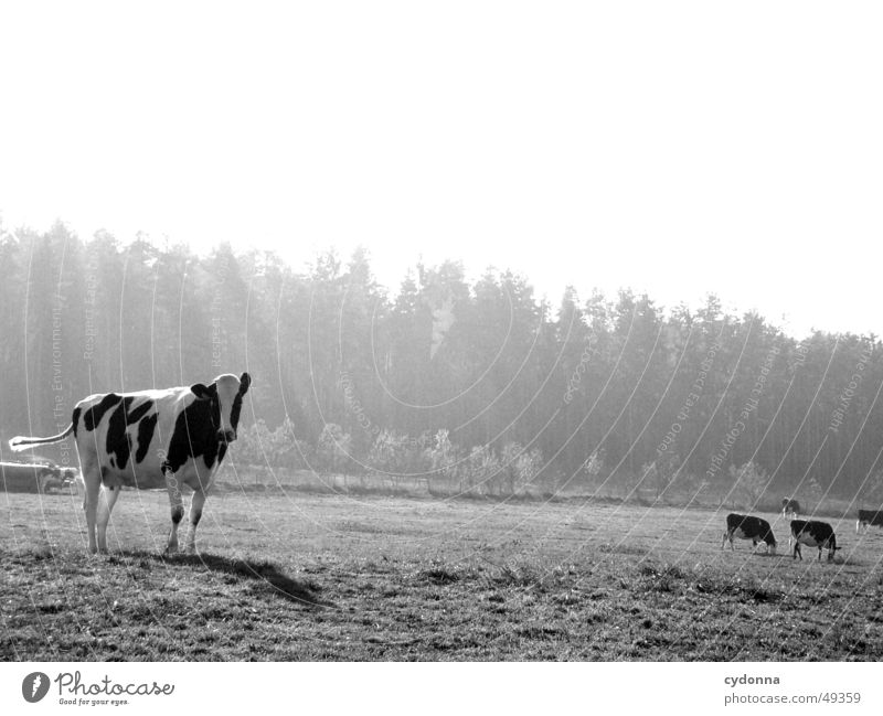 Nature Animal Meadow Spring Landscape Agriculture Cow Pasture Mammal Livestock