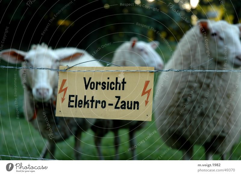 captives Colour photo Deep depth of field Looking into the camera Lightning Meadow Farm animal Sheep 3 Animal Group of animals Electrified fence Signage