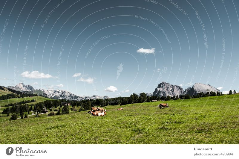 Animal Qüe, what else? Environment Nature Landscape Sky Clouds Summer Grass Meadow Forest Hill Rock Alps Mountain Peak Alpine pasture Seiser Alm Cow