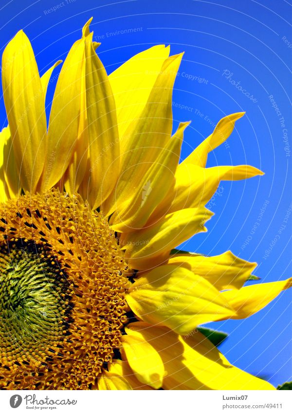 Nature Blue Plant Summer Yellow Blossom Sunflower