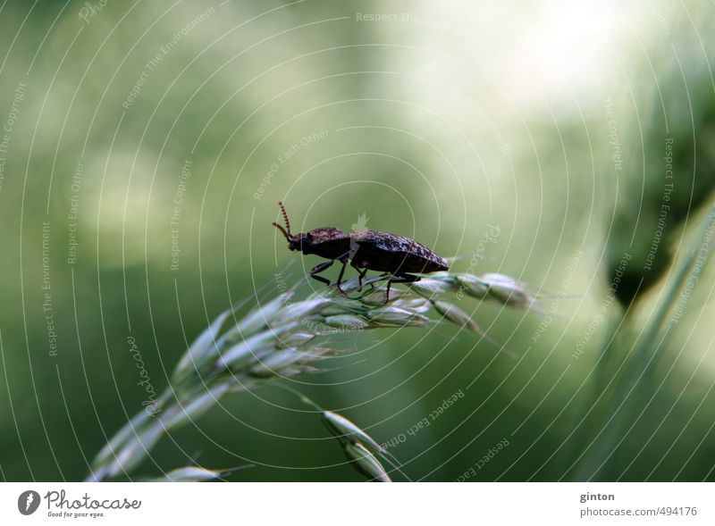 Mouse grey click beetle Nature Plant Animal Sunlight Summer Grass Foliage plant Meadow Field Wild animal Beetle 1 Stand Brown Green Colour photo Subdued colour