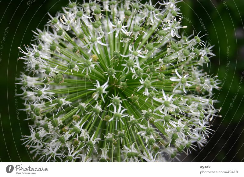 cutty Blossom Chives Plant Summer Nature