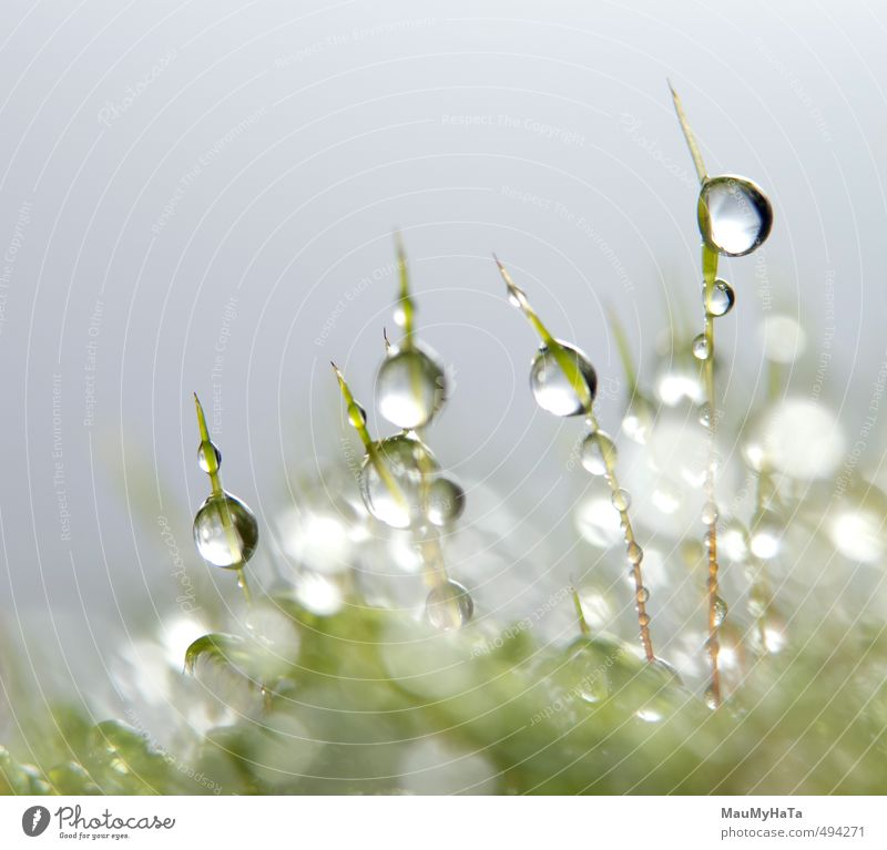 Water drops in moss Nature Plant Elements Drops of water Autumn Climate Bad weather Rain Moss Garden Forest Growth Fresh Wet Green Silver White Purity Fear