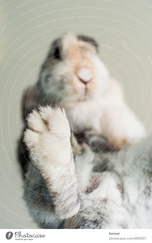 Give five Animal Pet Pelt Claw Paw Pygmy rabbit Hare & Rabbit & Bunny 1 Sit Cute Serene Calm Self Control Colour photo Subdued colour Interior shot Close-up Day