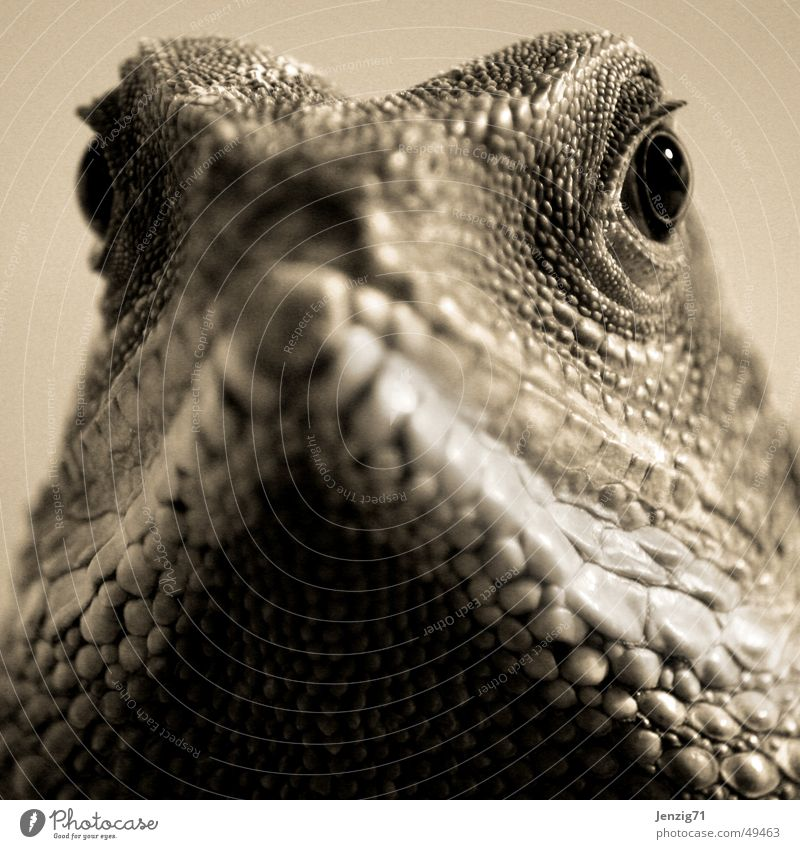 Observer. Reptiles Saurians Agamidae Water dragon Eyes