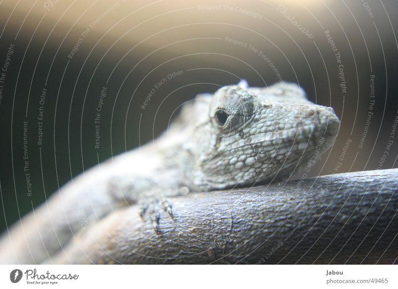 Reptiles Saurians