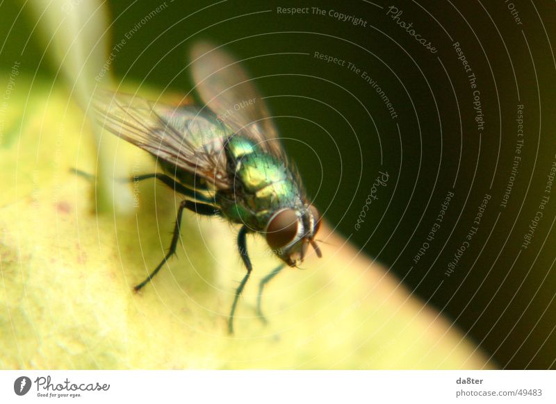 Fly in the wild Green Glittering Insect Macro (Extreme close-up) Wing Legs