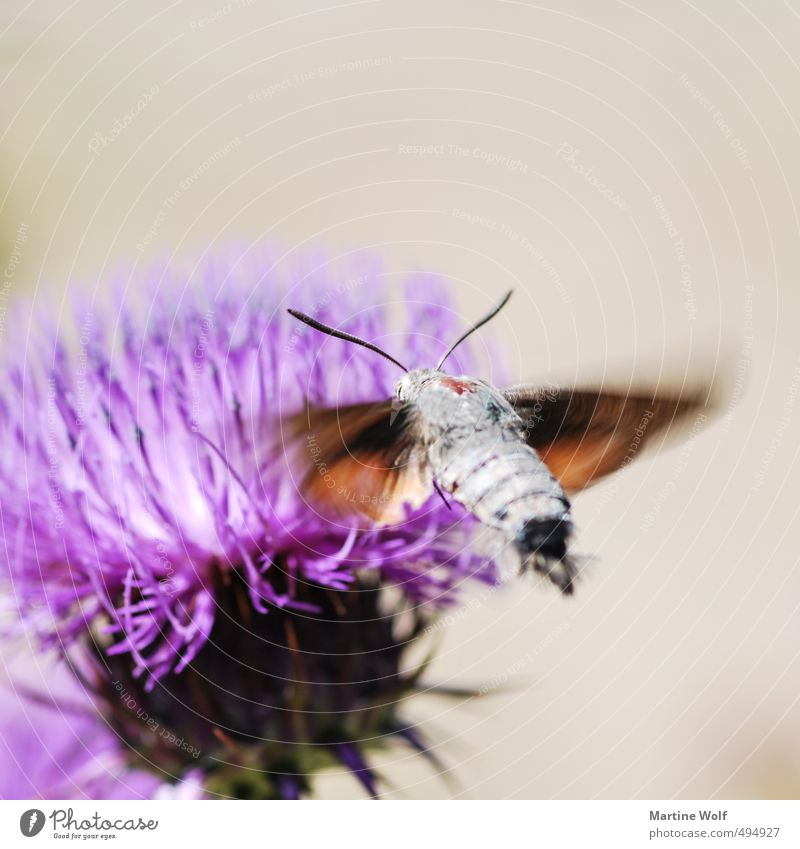 dovetails Nature Animal Italy Calabria Europe Butterfly 1 Flying Parco Nazionale dell Aspromonte Sprinkle Airplane landing Colour photo Exterior shot