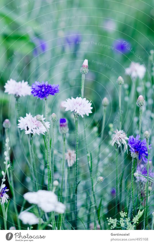 wild flowers Nature Plant Summer Flower Blossom Field Beautiful Blue Green White Cornflower Cornfield Rural Colour photo Exterior shot Copy Space top