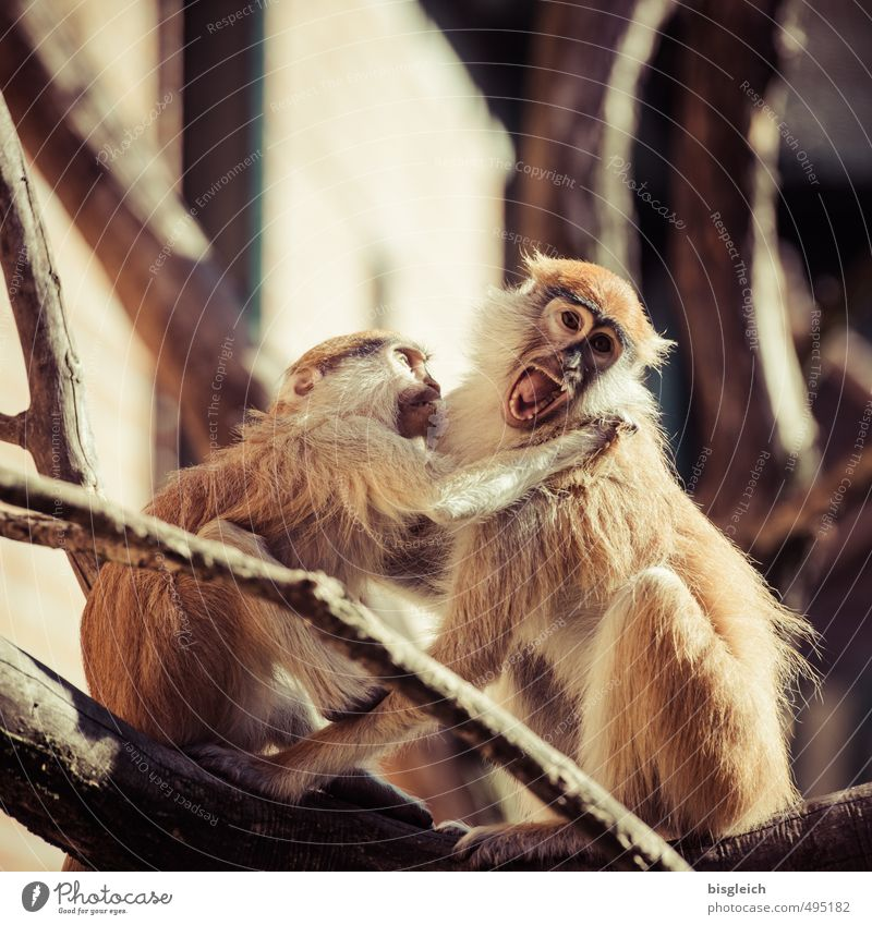 Ouch! Animal Monkeys 2 Scream Argument Aggression Wild Brown Stress Anger Colour photo Exterior shot Day