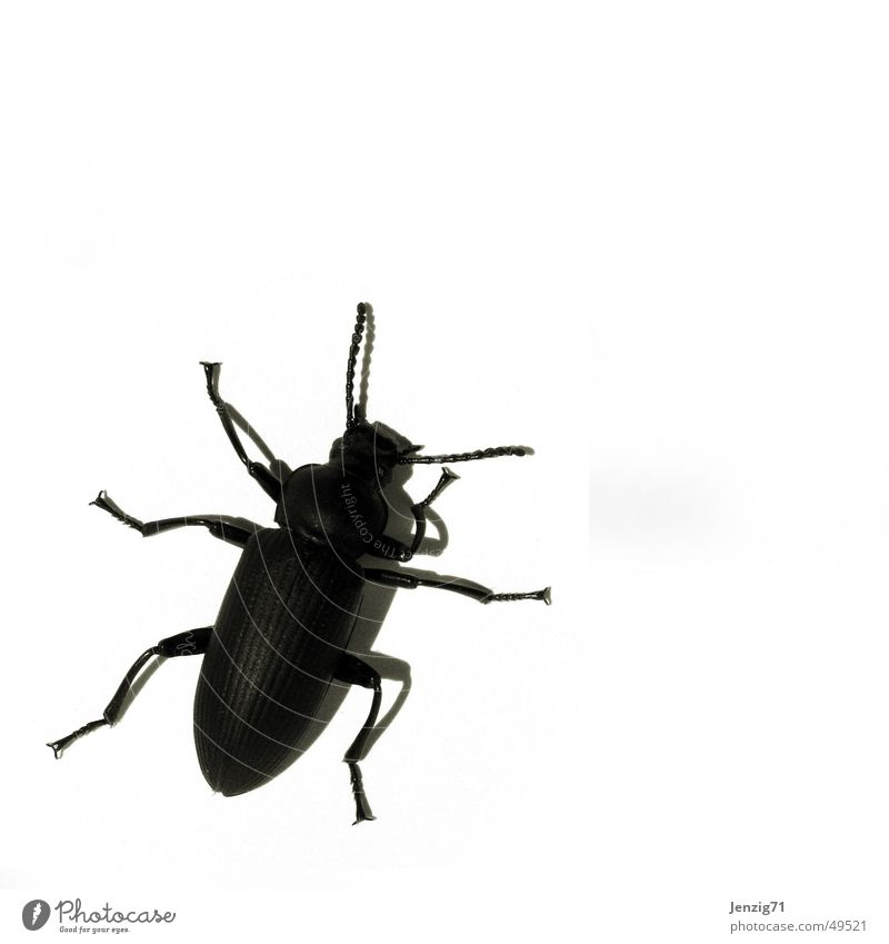 Black Insect Beetle Crawl Bow Pests