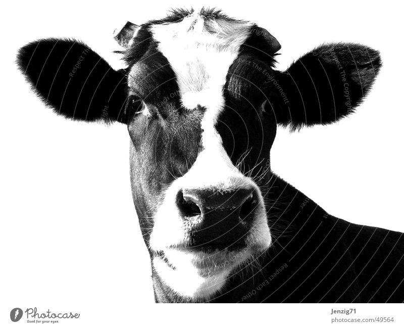 Animal Pasture Cow Cattle Barn Bull Livestock Udder