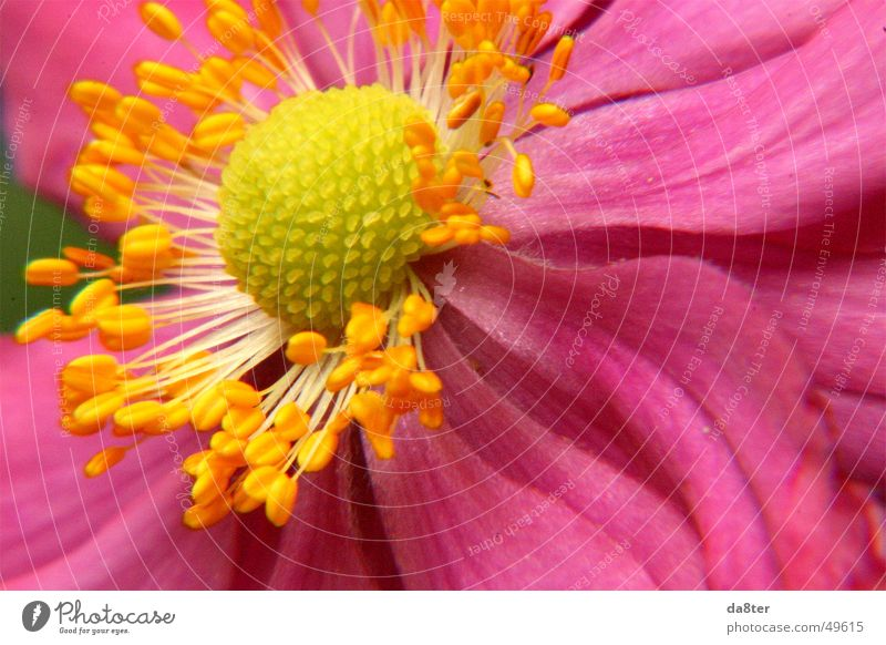 Nature Flower Plant Leaf Yellow Blossom Pink Pollen