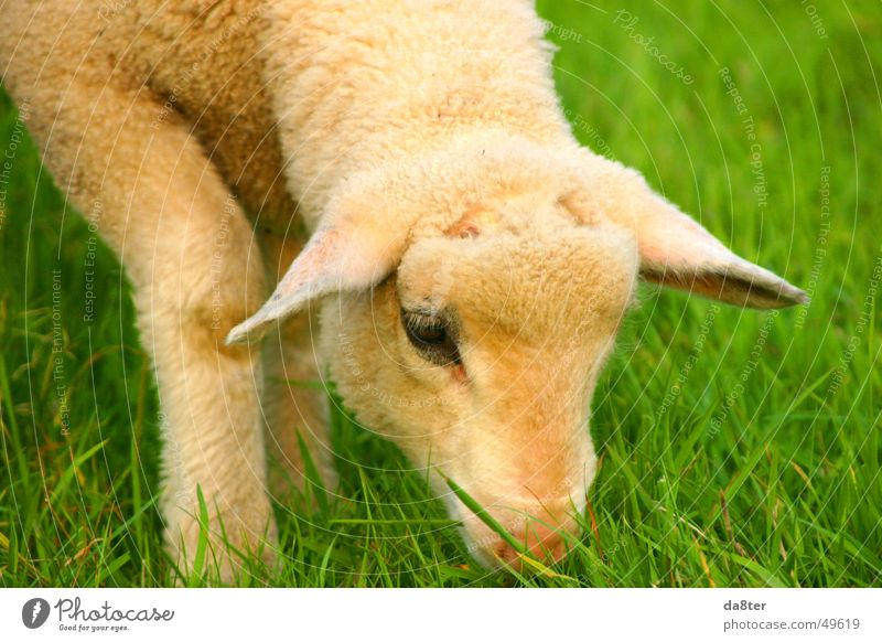 Lamb on the meadow Meadow Green Brown White To feed Grass Blade of grass Pelt Wool Animal Eyes Ear