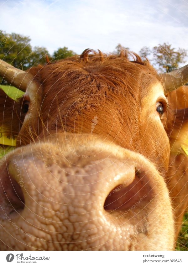 Brown Nose Cow Animal