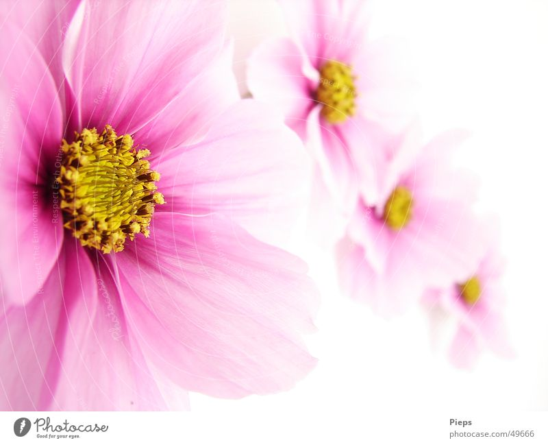 Pink Ladies Colour photo Interior shot Neutral Background pretty Summer Nature Plant Flower Blossom Blossoming Happiness 4 Cosmos focus gradient Delicate