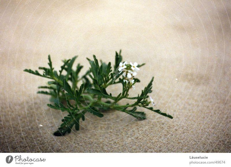 Water White Flower Green Beach Gray Sand Desert Delicate France Dry Beach dune Thirst Atlantic Ocean Grain of sand