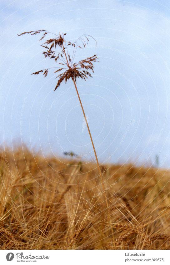 high up Autumn Field Grass Light blue Blade of grass Large Grain Sky