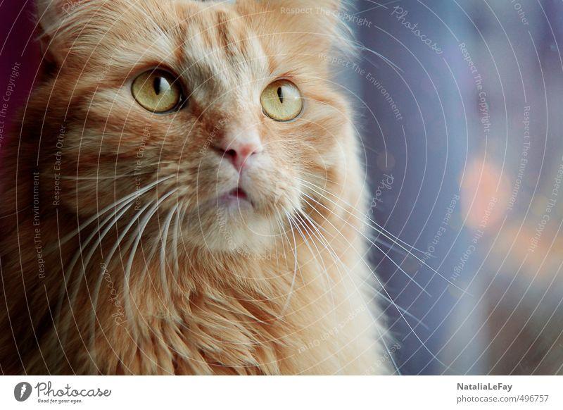 Hangover daydreams Animal Pet Cat Animal face Pelt 1 Observe Think To enjoy Looking Illuminate Dream Wait Curiosity Soft Multicoloured Gold Orange Moody