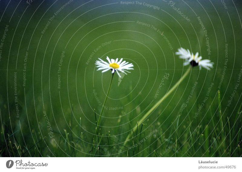 daisy II Summer Daisy Flower Meadow Grass Green Jena