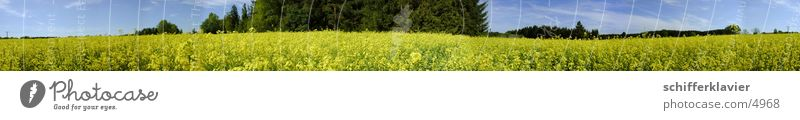 Rapsfeld Panorama Panorama (View) Canola Fir tree Blossom 360° Landscape Large Panorama (Format)