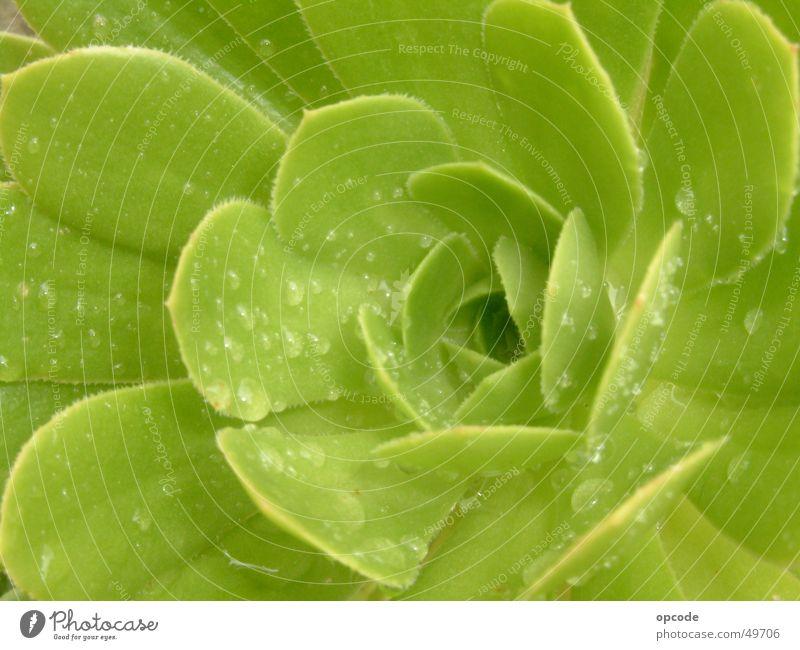 Plant Wet Cactus Succulent plants