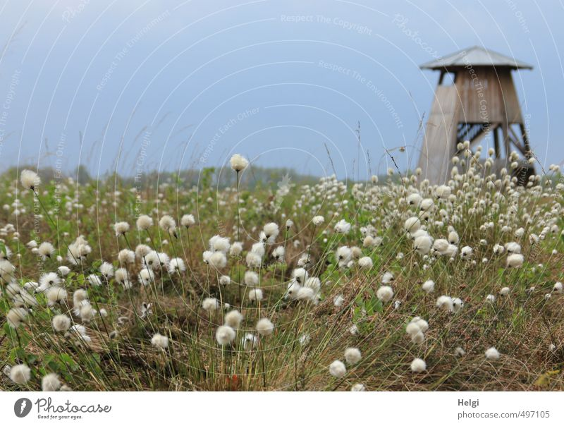 Helgiland | Spring in the Moor Tourism Trip Environment Nature Landscape Plant Beautiful weather Grass Blossom Wild plant Cotton grass Cotton gras meadow Bog