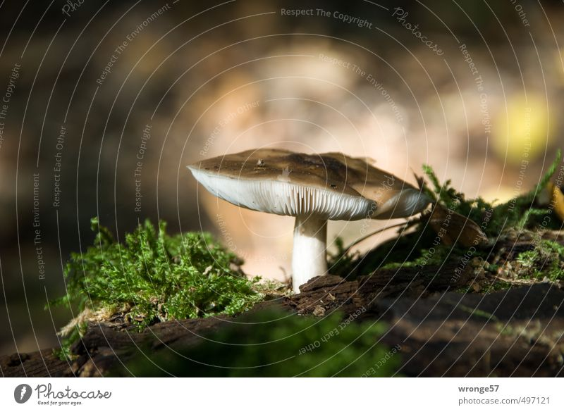 mushroom season Mushroom Nature Earth Autumn Moss Forest Natural Brown Mushroom cap Woodground Food Ground level Colour photo Subdued colour Exterior shot