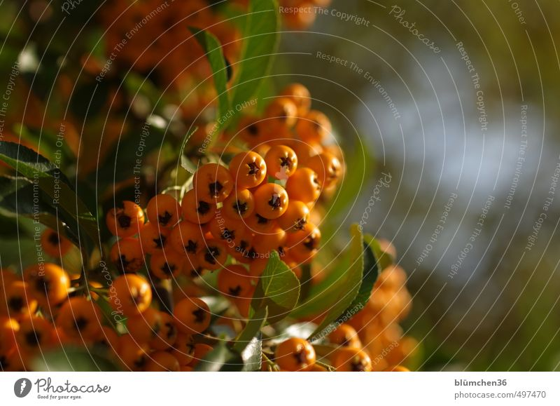 Autumn in orange Nature Plant Bushes Sallow thorn Sallow thorn leaf Glittering Illuminate Fresh Small Natural Juicy Sour Thorny Orange Berries Leaf