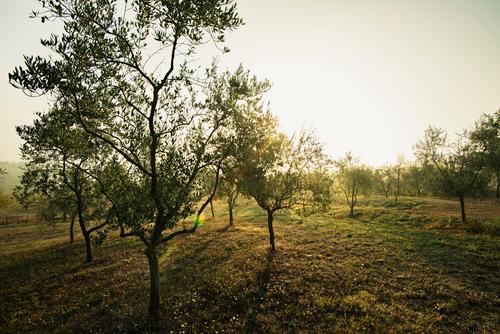 Beautiful Summer Tree Autumn Beautiful weather Tuscany Olive Olive tree Siena Olive harvest
