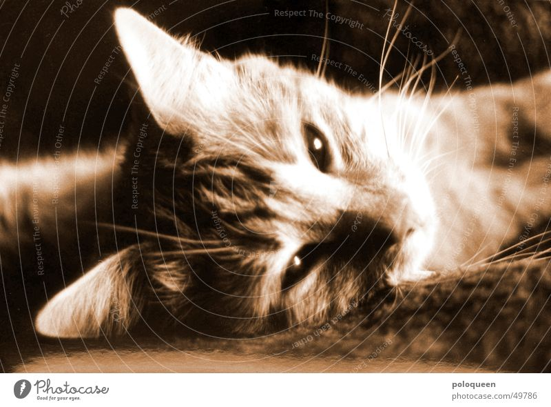 Animal Cat Sepia Domestic cat
