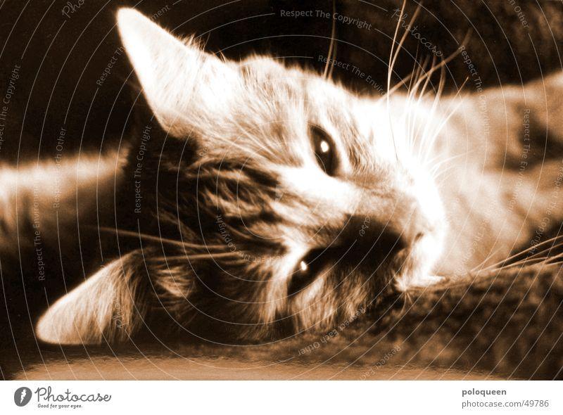 Hello, Spencer. Cat Animal Domestic cat Black & white photo Sepia