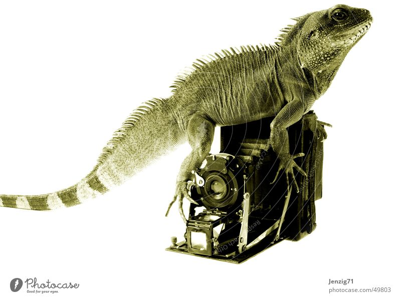Photography Camera Photographer Nostalgia Take a photo Reptiles Saurians Agamidae Water dragon Plate camera
