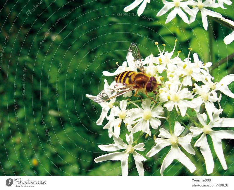 Nature White Green Flower Animal Black Yellow Meadow Blossom Flying Bee Insect Thorn Wasps Stamen Nectar
