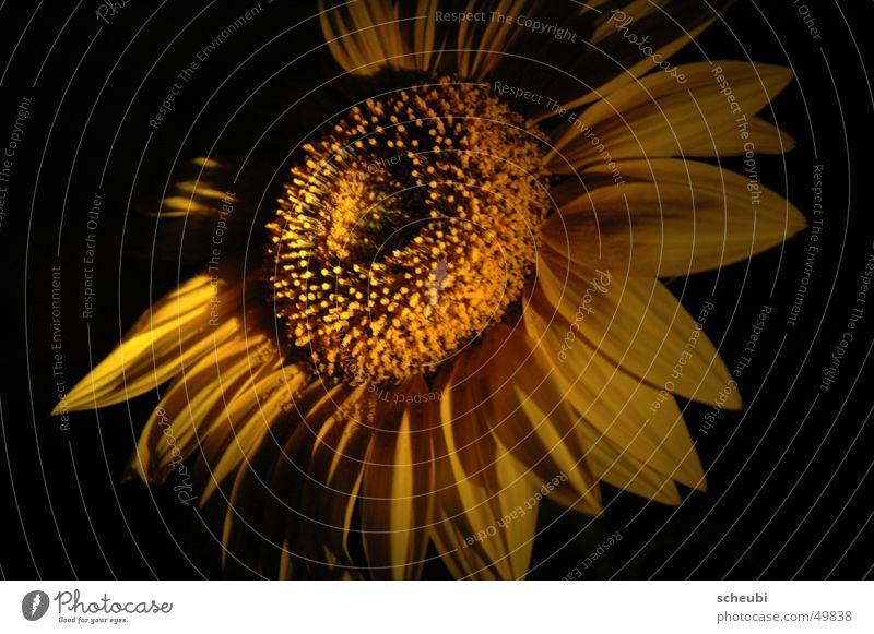 Sun or flower Sunflower