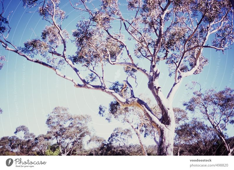 Australian gum tree under a glaring sun Nature Plant Sky Cloudless sky Tree Leaf Wild plant Bright Dry Blue Adventure Burnt out burned out hikey light dazzeling