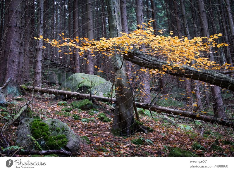 autumn colours Nature Plant Autumn Tree Leaf Deciduous tree Forest Hill Harz Natural Brown Yellow Woodground Autumn leaves Autumnal Mixed forest Colour photo